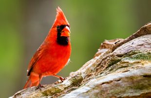 Top 10 Backyard Birds